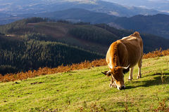 Brown cow eating Stock Photo