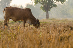 Brown cow eating dried grass in the field. Selective Focus. In the morning, a brown cow eating dried grass in the rice field. Selective Focus Royalty Free Stock Photos