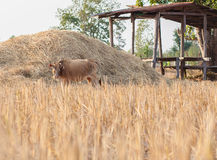 Brown cow eating dry grass on the farm in rural ,thailand Stock Photos