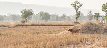 Brown cow eating dry grass on the farm in rural ,thailand Stock Photo
