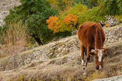Brown cow eating in the fields on a beautiful autumn day Royalty Free Stock Images