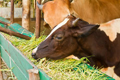Brown cow eating grass Royalty Free Stock Photos