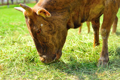Brown cow eating grass Royalty Free Stock Photo