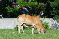 Brown cow eating grass in a field in Thailand Royalty Free Stock Photo