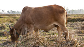 Brown cow eating grass in the fields Royalty Free Stock Images