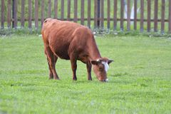 Brown cow eating green grass. On field Stock Images