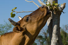Brown cow eating leafes Royalty Free Stock Image