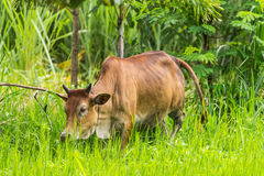 Brown cow eating Royalty Free Stock Image