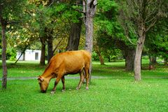 Brown cow eats grass in the Park in the summer royalty free stock images