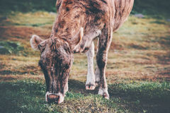 Brown Cow Farm Animal at alpine green valley Stock Photo