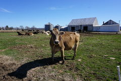 Brown cow in farm Royalty Free Stock Photography