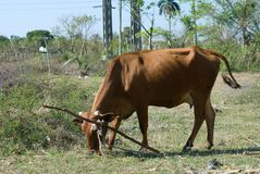 Brown cow in a farm (IV) Royalty Free Stock Images