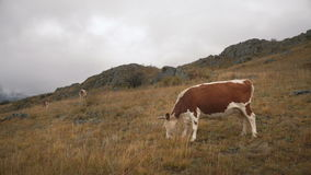 A Brown Cow Feeding On Grass At The Edge Of Boreal Forest In Siberian Mountains At Daytime stock video footage