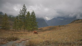 A Brown Cow Feeding On Grass At The Edge Of Boreal Forest In Siberian Mountains At Daytime stock footage