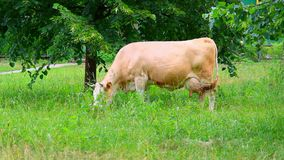 Brown cow is feeding green fresh grass stock footage