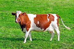 Brown cow Stock Image