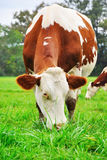 Brown Cow. On the field Stock Photo