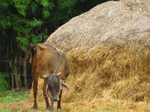 Brown cow in the field royalty free stock image