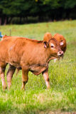 Brown cow. On the field, electric wire Royalty Free Stock Image
