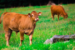Brown cow. On the field, electric wire Royalty Free Stock Images