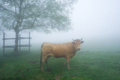 Brown cow on foggy field. Staring Stock Photography
