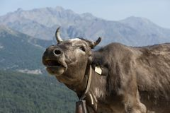 Brown cow freely roaming on mountain meadow Royalty Free Stock Images