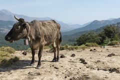 Brown cow freely roaming on mountain meadow Royalty Free Stock Photo
