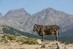 Brown cow freely roaming on mountain meadow Stock Image