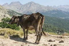 Brown cow freely roaming on mountain meadow Stock Photo