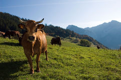 Brown cow in french alps Royalty Free Stock Photo