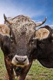 Brown Cow from Frontal Stock Photo