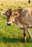 Brown cow gazing to the camera Stock Images