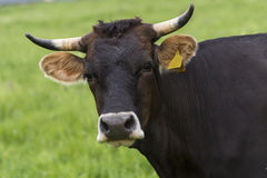 Brown cow gazing to the camera. Portrait of big brown cow gazing to the camera Royalty Free Stock Images