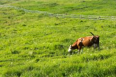 Brown cow graze on meadow with green grass Royalty Free Stock Photos