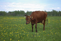 Brown cow grazes in a meadow. Royalty Free Stock Image
