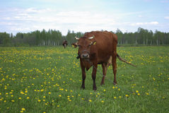 Brown cow grazes in a meadow. Stock Image