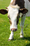 Brown cow grazing Stock Photography