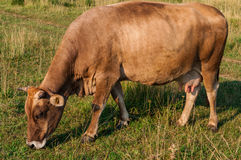 Brown cow grazing. In fresh pasture Royalty Free Stock Image