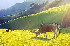 Brown cow grazing on field Stock Photography