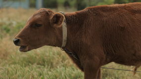 Brown cow grazing in the field Stock Photos