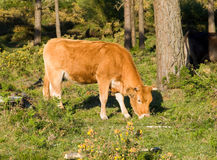 Brown cow grazing in a forest Stock Images