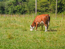 Brown cow grazing  on the grass field Stock Photos