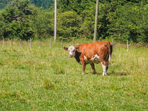 Brown cow grazing on  the grass field Royalty Free Stock Images
