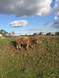 Brown Cow grazing on a green hill in the Swan Valley stock photography