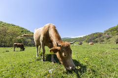 A brown Cow is grazing in the green mountains Stock Images