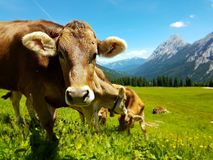Brown cow grazing on meadow in mountains. Cattle on a pasture royalty free stock image