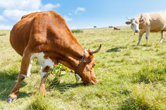Brown cow grazing on mountain meadow Stock Photo