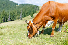 Brown cow grazing on mountain meadow Royalty Free Stock Photography