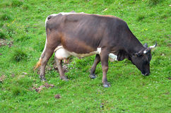 Brown cow grazing Royalty Free Stock Images