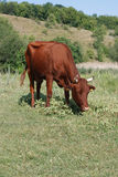 brown cow grazing in a pasture Royalty Free Stock Photography